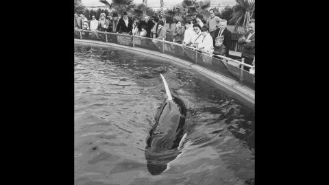 """SeaWorld's Shamu, the first orca to survive for more than a year in captivity, became a celebrated attraction at the San Diego park -- so much so that other orcas have been named Shamu. The orcas' life has not been without controversy; one named Tilikum killed a trainer in 2010, an event examined in <a href=""""http://www.cnn.com/specials/us/cnn-films-blackfish/"""">the CNN documentary """"Blackfish."""" </a>"""