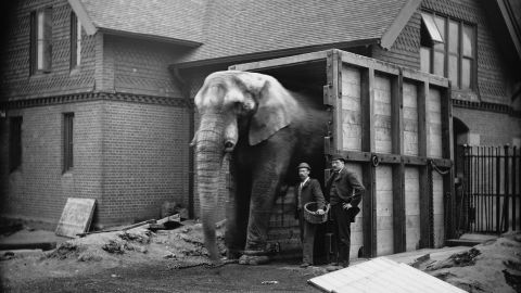 """Jumbo the elephant was among the most famous beasts of the 19th century, so popular that his name became synonymous with bigness. After being captured in India and spending a few years in Europe, the elephant was purchased by P.T. Barnum and became the centerpiece of Barnum's circus. He died in a train accident in 1885. """"Long after his life was extinct,"""" <a href=""""http://www.theguardian.com/global/2013/nov/07/jumbo-the-elephant-goes-large"""" target=""""_blank"""" target=""""_blank"""">The New York Times reported</a>, """"his keeper, who brought him from the Zoological Gardens in London, laid on his body and wept."""""""