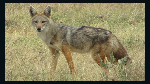 """Researchers say this animal, which is found in Africa, is a different species from the golden jackal, Canis aureus. They <a href=""""http://www.cnn.com/2015/08/01/world/african-golden-wolf-feat/index.html"""">propose renaming</a> it the African golden wolf, or Canis anthus."""