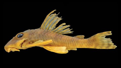 """Its scientific name is <a href=""""http://www.cnn.com/2015/03/17/us/feat-greedo-catfish-species/index.html"""">Peckoltia greedoi</a>, and it is known for its large, dark eyes, puckered lips and protruding bristles. But you can call him Greedo, in honor of the bounty hunter from """"Star Wars Episode IV: A New Hope."""""""