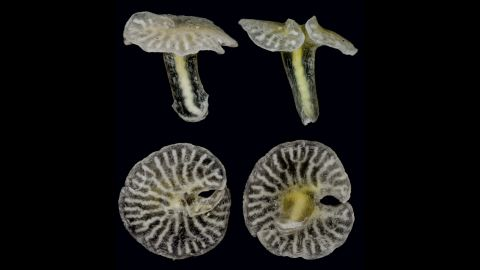 It might look like a strange mushroom, but scientists are certain that this is an animal. Further classification is still up for debate. The X-phyla  could be related to various existing sea animals such as jellyfish and coral, or it could be in a phylum all its own. This was found on the sea floor off the coast of Australia.