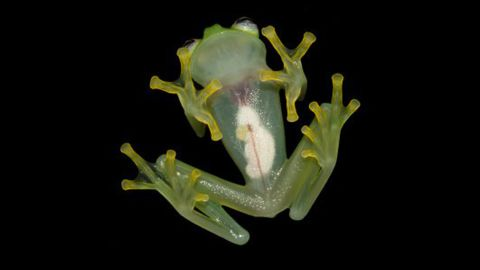 """The Costa Rican Amphibian Research Center announced <a href=""""http://www.cnn.com/2015/04/21/living/feat-new-frog-looks-like-kermit/"""">a newly discovered species of glassfrog</a>, Hyalinobatrachium dianae, from the Caribbean slopes of Costa Rica. The authors distinguished H. dianae from other glassfrogs due to its unique combination of morphological characteristics, its mating call, and genetic differences. The last time a new glassfrog was discovered in Costa Rica was in 1973."""