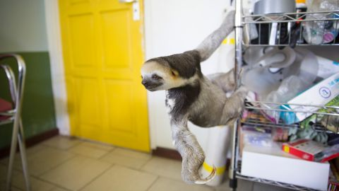 """""""My biggest rescue ever was in 2012 when we heard about this plot of land that was going to be cleared,"""" Pool said. The group rescued 200 animals, including around 160 sloths. They jokingly called it """"Slothageddon -- sloth armageddon."""" """"During that time, it was really a bit weird to live here because there were sloths everywhere: in my living room, in cages, in my garage. Dozens of volunteers were helping."""""""