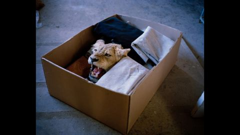 Lioness in a box, South Africa.