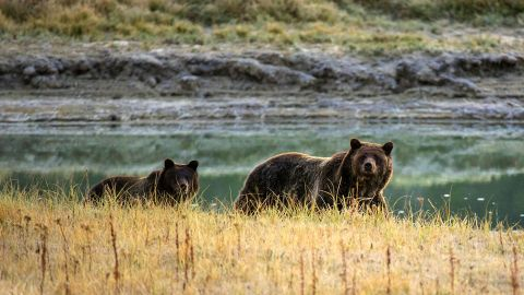 There are more than 500 grizzly bears in Yellowstone National Park.