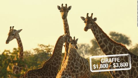 """Earth's tallest mammal can run as fast as <a href=""""http://animals.nationalgeographic.com/animals/mammals/giraffe/"""" target=""""_blank"""" target=""""_blank"""">35 miles (56 kilometers) an hour over short distances.</a> But that's unlikely to deter a hunting enthusiast. Giraffes can be shot down for $3,800 in South Africa, $3,200 in Zimbabwe or $1,800 in Namibia.<br />The <a href=""""http://www.iucnredlist.org/details/9194/0"""" target=""""_blank"""" target=""""_blank"""">International Union for Conservation of Nature and Natural Resources (IUCN)</a> warns that recent declines may mean that the species will be moved up to a higher category of threat."""