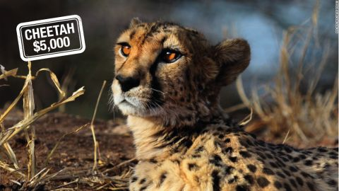 """Hunting the cheetah can cost $5,000 in Namibia -- but only if he or she can catch up with the world's fastest land mammal, which can go from <a href=""""http://animals.nationalgeographic.com/animals/mammals/cheetah/"""" target=""""_blank"""" target=""""_blank"""">0 to 60 miles (96 km) an hour in just three seconds. </a><br />According to the IUCN<a href=""""http://www.iucnredlist.org/"""" target=""""_blank"""" target=""""_blank""""> Red List of Threatened Species</a>, the cheetah is<a href=""""http://www.iucnredlist.org/details/221/0"""" target=""""_blank"""" target=""""_blank""""> critically endangered.</a>"""