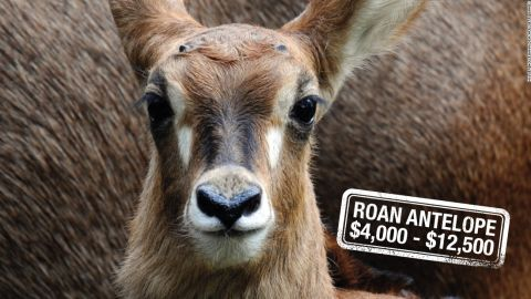"""Mainly found roaming the savannahs of West and Central Africa, the Roan antelope can<a href=""""https://www.awf.org/wildlife-conservation/roan-antelope"""" target=""""_blank"""" target=""""_blank""""> run up to 35 miles per hour</a>. Hunters can pay up to $12,500 to be hot on their heels in South Africa, or $4,000 in Tanzania. The animal's conservation status is of <a href=""""http://www.iucnredlist.org/details/10167/0"""" target=""""_blank"""" target=""""_blank"""">""""least concern"""".</a>"""