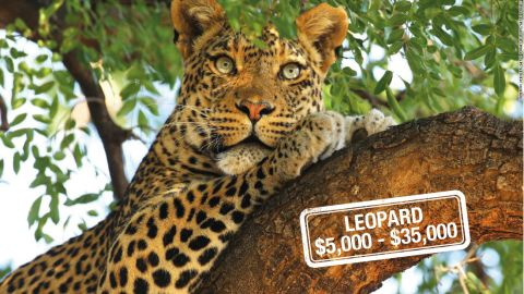 """The cost to hunt this<a href=""""http://www.iucnredlist.org/details/15954/0"""" target=""""_blank"""" target=""""_blank""""> near-threatened, </a>elusive big cat begins at $5,000, with some companies offering a guaranteed kill for a $35,000 price tag."""