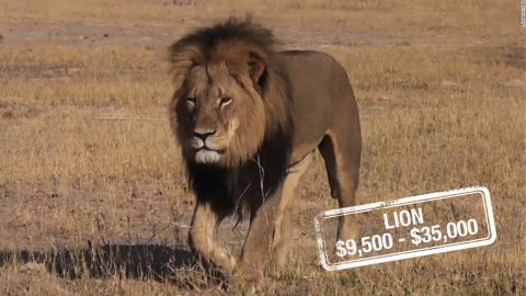 """The cost to kill a lioness can be up to $9,500 in South Africa, whereas a lion can set a hunter back $23,000, $30,000 for a white lion or $35,000 for a black mane lion, similar to Cecil. It's unclear what <a href=""""http://edition.cnn.com/2015/07/31/world/zimbabwe-cecil-lion-dentist/"""">Walter Palmer's</a> $55,000 payment may have included.<br />According to the <a href=""""http://whitelions.org/white-lion/key-facts-about-the-white-lion/"""" target=""""_blank"""" target=""""_blank"""">Global White Lion Protection Trust,</a> there are hundreds of white lions in captivity, but less than 13 in the wild. And there are no laws to stop them being hunted.<br />Although lions are not listed as endangered, it's claimed by certain wildlife activists that their numbers are in <a href=""""http://journals.plos.org/plosone/article?id=10.1371/journal.pone.0083500"""" target=""""_blank"""" target=""""_blank"""">serious decline in West Africa. </a>"""