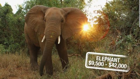 """Poaching, habitat destruction, human-animal conflict, war and an overwhelming demand for ivory have in Asia have all contributed to the <a href=""""http://edition.cnn.com/2015/04/10/africa/chad-elephant-conservation/"""">disappearance of elephants,</a> categorized as <a href=""""http://www.iucnredlist.org/details/12392/0"""" target=""""_blank"""" target=""""_blank"""">vulnerable.</a> And it can cost $42,000 to hunt and kill the largest land mammal on Earth or $9,500 for a non-trophy elephant in Zimbabwe."""
