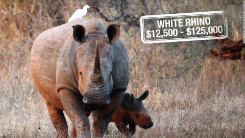 """It can cost up to $125,000 to hunt down a white rhino in South Africa. Classified as <a href=""""http://www.iucnredlist.org/details/4185/0https:/www.worldwildlife.org/species/white-rhino"""" target=""""_blank"""" target=""""_blank"""">near threatened,</a> white rhinos are not considered endangered. However, there are reportedly only<a href=""""http://edition.cnn.com/2015/07/29/world/northern-rhino-dies/""""> four northern white rhinos</a> left in the world, their numbers slashed by poaching for their prized horns."""