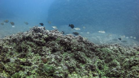 2. Marbled rabbitfish (<em>Siganus rivulatus</em>): The rabbitfish eats only algae, but reproduces so quickly that enormous schools strip the algae from an entire area and create barren regions. Native to the Indian and Pacific Oceans.