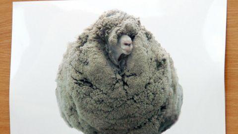 Shrek the sheep before his trim. Baaaa