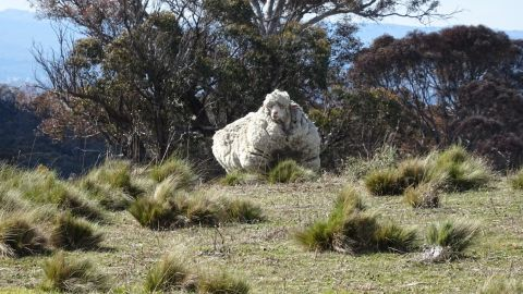 Chris the sheep as seen in the wild, in the Mulligans Flats area near the NSW-ACT border, Australia.