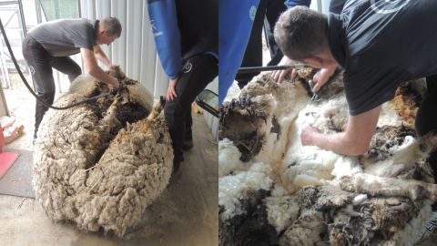 It took 42 minutes to rid Chris of his fleece, the RSPCA said.