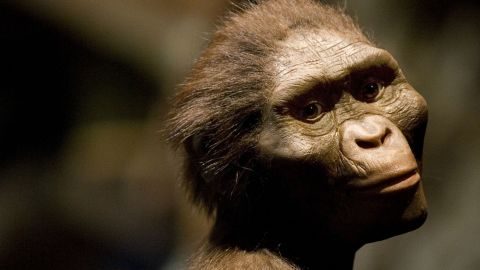 A sculptor's rendering of the hominid Australopithecus afarensis.