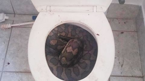 This almost 10-foot python was found in a toilet in Townsville, Australia.