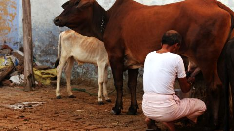 Ombir Sisodia is pictured milking a cow.
