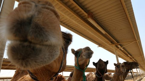 The Al Ain Dairy Farm produces over 40,000 bottles of camel milk each day.