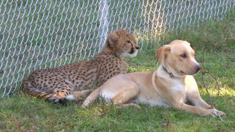 cheetah dog best friends virginia _00000217.jpg