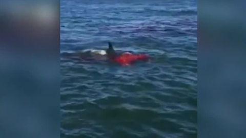 shark attacks sea lion san francisco dnt_00001906.jpg