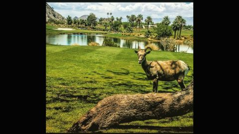 """While some golfers in certain parts of the world have been scared off course by alligators, <a href=""""https://instagram.com/rmuggs/"""" target=""""_blank"""" target=""""_blank"""">@rmuggs</a> found a far less scary intruder on his round. The big horn sheep even took the time to pose and smile for the camera."""