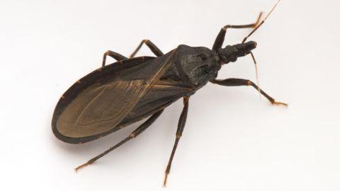 A triatomine bug.