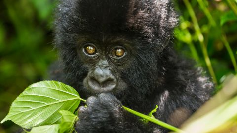 The park is home to approximately 480 mountain gorillas, around half of the world's remaining population. As the gorilla sector is overrun by militias and poachers, it is a dangerous place for gorillas and humans alike.