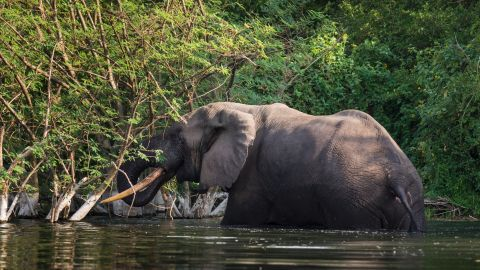 Other animals are under continual threat in the park. De Merode says the park has lost 95% of its elephant population due to poachers. To protect the species, park rangers monitor them non-stop.