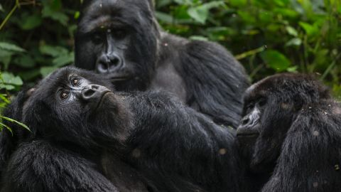 """Park director Emmanuel De Merode has himself been shot twice in the line of duty. But he says that despite the dangers, his team are determined to continue their work. <br /><br />""""The rangers go out in the forest and protect [the gorillas] every day, no matter what's happening."""""""