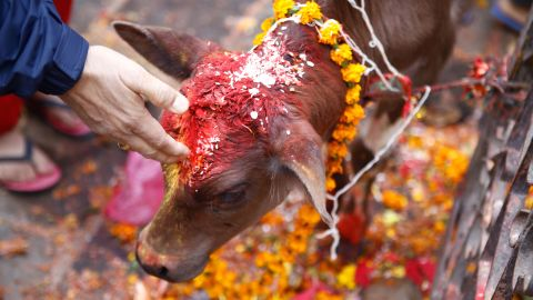 Nepali devotees worship a cow as part of the Tihar festival in Kathmandu, Nepal, on Wednesday, November 11. Diwali, or Tihar, also known as the festival of lights, is celebrated by millions around the world.