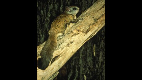 """The <strong>Virginia northern flying squirrel </strong>was in danger of extinction in 1985, when scientists documented only 10 remaining animals. But its population made a comeback, and the squirrel was removed from the list in 2013. The squirrel is native to West Virginia and, yes, Virginia. It doesn't really fly, although membranes between its legs serve as """"wings"""" and let it glide from tree to tree."""