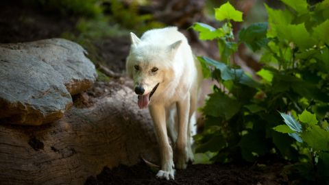 The <strong>gray wolf</strong>, which can be found in wilderness areas of the northern American West and Canada, was listed as endangered in 1978. After its populations recovered, the wolf was taken off the list in 2011.