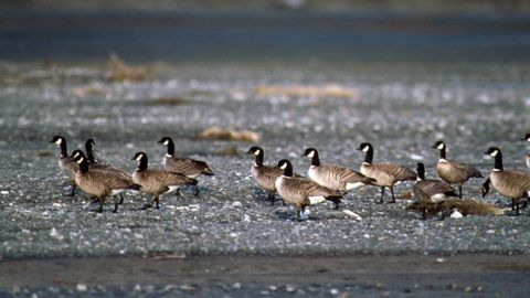 The <strong>Aleutian Canada goose</strong>, found in Alaska, Canada and the Pacific Northwest, numbered only in the hundreds in the mid-1970s. But efforts to recover the bird population were successful, and biologists estimated that there were 37,000 Aleutian Canada geese by the time the bird was removed from the list in 2001.