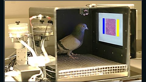 Pigeons were trained to read samples of breast tissue to look for cancer