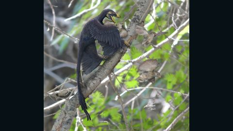 Xu announced the discovery of the four-winged microraptor in 2003 although scientists believe it glided rather than flew -- shedding light on how birds' ancestors learned to fly.
