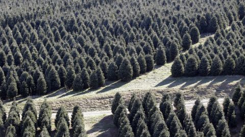 Fraser fir Christmas trees are seen standing and ready for cutting at Maines Tree Farm in Glade Valley, N.C., Friday, Dec. 2, 2011. (AP Photo/Chuck Burton)