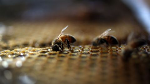 HOMESTEAD, FL - MAY 19:  Honeybees are seen at the J & P Apiary and Gentzel's Bees, Honey and Pollination Company on May 19, 2015 in Homestead, Florida. U.S. President Barack Obama's administration announced May 19, that the government would provide money for more bee habitat as well as research into ways to protect bees from disease and pesticides to reduce the honeybee colony losses that have reached alarming rates.  (Photo by Joe Raedle/Getty Images)