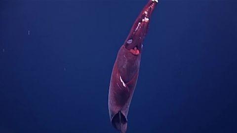 Taningia danae whiplash squid vstan orig jnd pkg_00000707.jpg