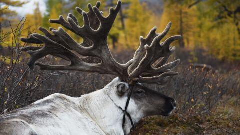"""Elk has a """"dry, more wild taste,"""" says Fenaknoken's Eirik Braek, but reindeer is a """"much smaller animal so it's much sweeter."""""""