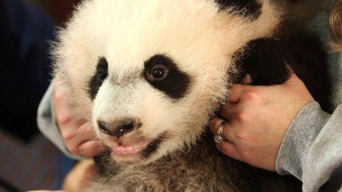 panda bear cub Bei Bei orig_00001214.jpg