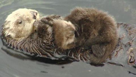 wild otter gives birth monterey bay aquarium dnt_00000222.jpg