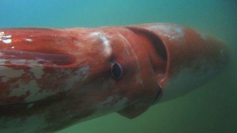 japan giant squid orig js_00000000.jpg