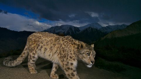 A remote camera captures a photo of an endangered snow leopard on a mountain pass in Hemis National Park, Ladakh, India.