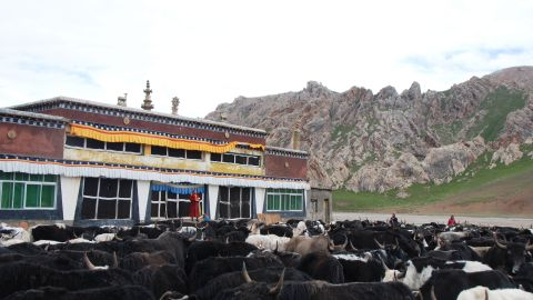 A monk gives prayer for sick yaks at a monastery on the Tibetan Plateau, Qinghai Province, China