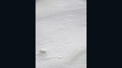 Snow leopard prints in the snow, Tibetan plateau, Qinghai province, China.