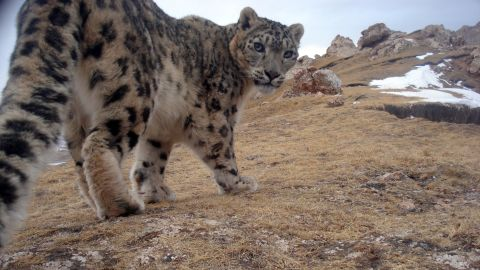 """A snow leopard peers back curiously at a camera trap in Qinghai Province, Tibetan Plateau, China. Known locally as """"mountain ghosts,"""" snow leopards inhabit the major mountain ranges of Asia."""