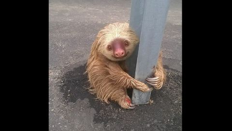 Sloth rescue by Ecuadorian transit authorities