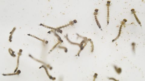 The larvae of Aedes aegypti mosquitoes are photographed in a lab in Cali, Colombia, on January 25. Scientists are studying the mosquitoes to control their reproduction and resistance to insecticides.